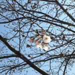 浅草隅田川沿いの桜並木